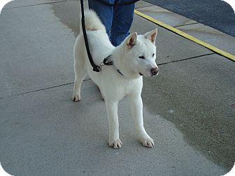 Akita Dog for adoption in Virginia Beach, Virginia - Kori