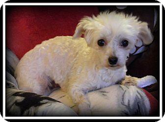 Maltese Dog for adoption in Indian Trail, North Carolina - Lolli