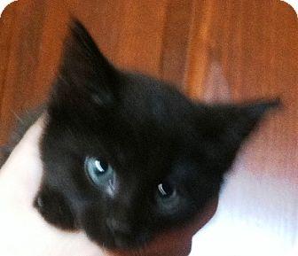 Domestic Shorthair Kitten for adoption in Columbus, Ohio - Shelley