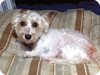 Maltese/Yorkie, Yorkshire Terrier Mix Dog for adoption in Youngwood, Pennsylvania - Nemo