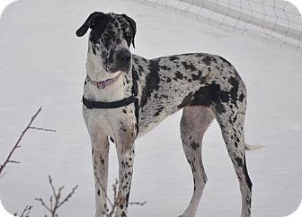 Great Dane Dog for adoption in Broomfield, Colorado - Silver