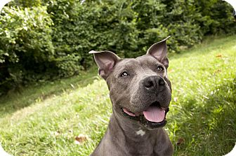 American Pit Bull Terrier Mix Dog for adoption in Des Peres, Missouri - Maybel