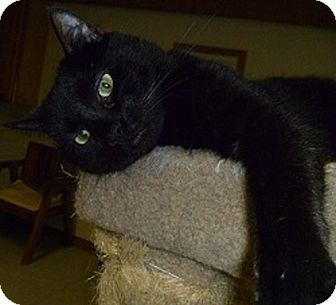 Domestic Shorthair Cat for adoption in Hamburg, New York - Radar
