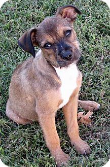 Terrier (Unknown Type, Medium) Mix Puppy for adoption in Bedminster, New Jersey - Zeus