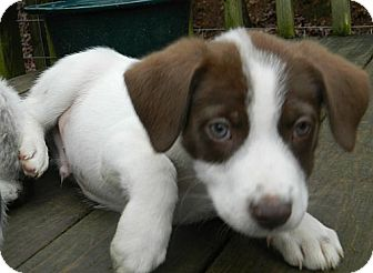 Jack Russell Terrier/Terrier (Unknown Type, Medium) Mix Puppy for adoption in Hagerstown, Maryland - Russell Brown