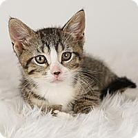 Adopt A Pet :: Paulie - Eagan, MN