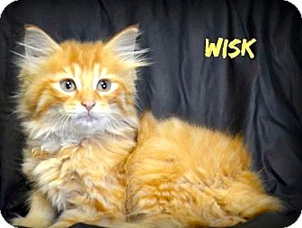 Maine Coon Kitten for adoption in Cincinnati, Ohio - Wisk: Red Bank Vet