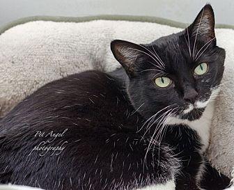 Domestic Shorthair Cat for adoption in Santa Fe, New Mexico - Rhoda