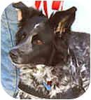 Border Collie/German Shepherd Dog Mix Dog for adoption in Stephentown, New York - Misty