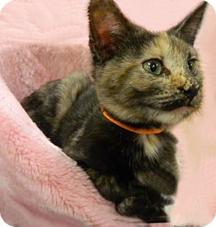 Domestic Shorthair Kitten for adoption in The Colony, Texas - Indira