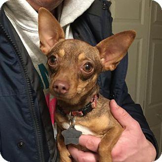 Miniature Pinscher/Chihuahua Mix Dog for adoption in Edmonton, Alberta - Rosebud