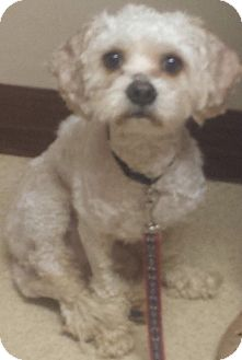 Bichon Frise/Cavalier King Charles Spaniel Mix Dog for adoption in Palatine, Illinois - Jameson