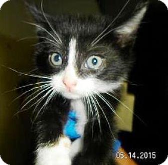Domestic Shorthair Kitten for adoption in Lincolnton, North Carolina - Kate -Euth June 24 $40 fee