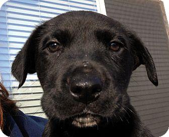Labrador Retriever/Shar Pei Mix Puppy for adoption in Oakley, California - Baby Symphony