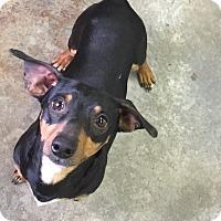 Adopt A Pet :: Bam Bam - Russellville, KY