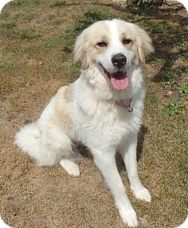 Great Pyrenees Dog for adoption in Pittsburgh, Pennsylvania - Bella