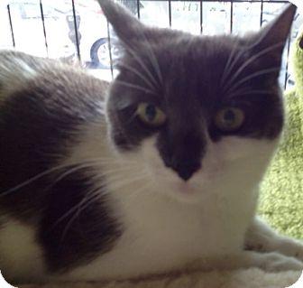 Domestic Shorthair Cat for adoption in Philadelphia, Pennsylvania - Fiona