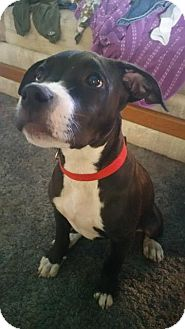 American Pit Bull Terrier/Labrador Retriever Mix Puppy for adoption in Victorville, California - Monster-Adopt me!