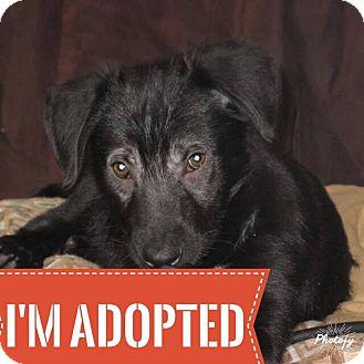 Border Collie/Shepherd (Unknown Type) Mix Puppy for adoption in Regina, Saskatchewan - Jetta