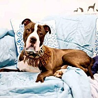 Pit Bull Terrier Dog for adoption in Hampton Bays, New York - BERNIE