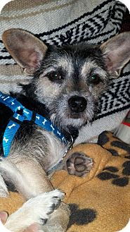 Terrier (Unknown Type, Small)/Chihuahua Mix Dog for adoption in Rocky Mount, North Carolina - Luna