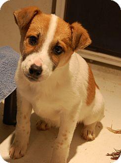 Shepherd (Unknown Type)/Labrador Retriever Mix Puppy for adoption in Minot, North Dakota - Fitch