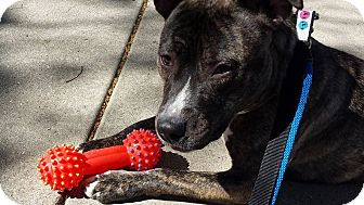 Pit Bull Terrier Mix Dog for adoption in Schaumburg, Illinois - Rizzo