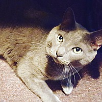 Domestic Shorthair Cat for adoption in Jersey City, New Jersey - Nermal