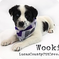 Adopt A Pet :: Wookie - Toledo, OH