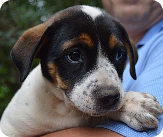 Beagle Mix Puppy for adoption in Springfield, Massachusetts - Zelda-ADOPTED