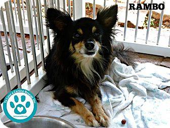 Chihuahua Mix Dog for adoption in Kimberton, Pennsylvania - Rambo