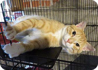 Domestic Shorthair Cat for adoption in Colville, Washington - Aslan