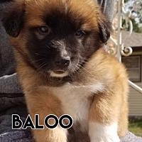 Adopt A Pet :: Baloo- Blue Collar - Valparaiso, IN