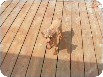 Toy Poodle Dog for adoption in Center Moriches, New York - Jezabel