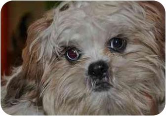 Shih Tzu Puppy for adoption in SLC, Utah - Joe