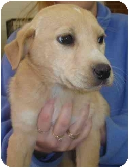 Labrador Retriever/German Shepherd Dog Mix Puppy for adoption in Old Bridge, New Jersey - Candy
