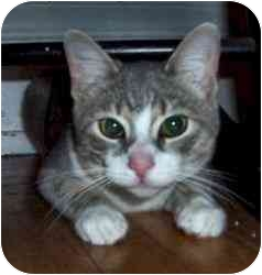 Domestic Shorthair Cat for adoption in New Richmond, Ohio - Scotty--adopted!!