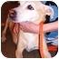 Photo 2 - Labrador Retriever/Whippet Mix Dog for adoption in New York, New York - Lady