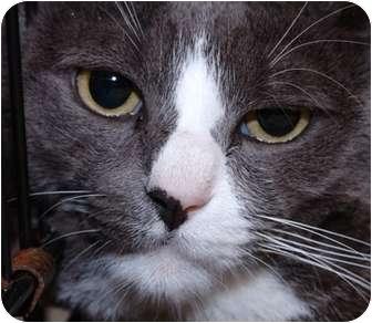 Domestic Shorthair Cat for adoption in Brooklyn, New York - Lord Greystoke