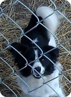 American Eskimo Dog/Border Collie Mix Dog for adoption in New Jersey, New Jersey - NJ Luke