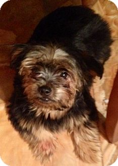 Yorkie, Yorkshire Terrier Puppy for adoption in Naples, Florida - Kode