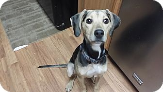 Beagle/Hound (Unknown Type) Mix Dog for adoption in Staunton, Virginia - Opal