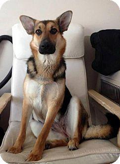 German Shepherd Dog Mix Dog for adoption in Winnipeg, Manitoba - Favor