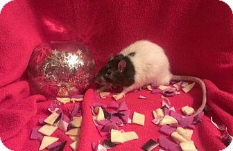 Rat for adoption in Dallas, Texas - Hippocrates