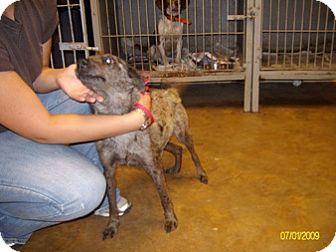 Catahoula Leopard Dog/Australian Kelpie Mix Dog for adoption in Rayville, Louisiana - Greygirl