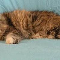 Adopt A Pet :: Missy - Anacortes, WA