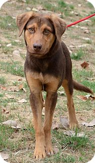 Labrador Retriever/Shepherd (Unknown Type) Mix Dog for adoption in Groton, Massachusetts - Tanner
