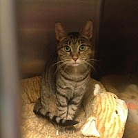 Domestic Shorthair Cat for adoption in Whitestone, New York - Marie