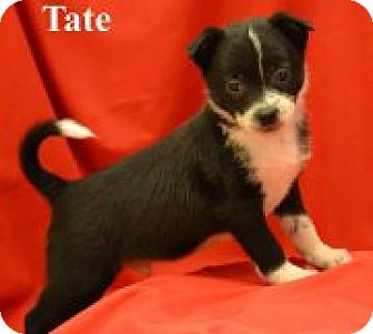 Boston Terrier Mix Puppy for adoption in Green Cove Springs, Florida - Tate