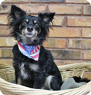 Chihuahua Mix Dog for adoption in Benbrook, Texas - Peanut